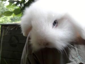 Lapine teddy bélier : Aglaë 2012-06-19-19.11.25-300x225