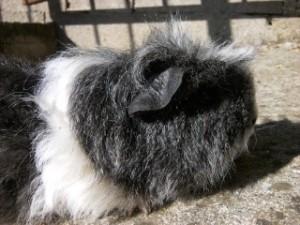 Cochon d inde texel : Avril 2012-09-19-16.10.48-300x225