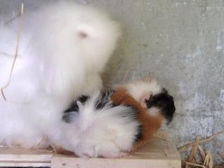 Cochon d inde :Minimoys 2012-09-01-11.52.22