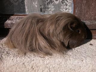 Cochon d inde shelty:Eva  2012-10-28-15.31.49